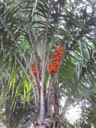 Astrocaryum aculeatum G.Mey. palmtree with its fruits