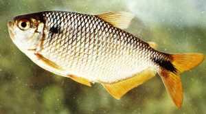 Astyanax Bimaculatus (Linnaeus 1758)